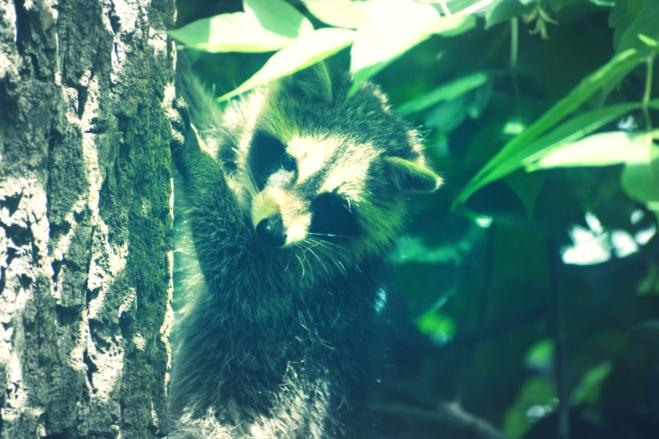 baby raccoon - thetemenosjournal.com