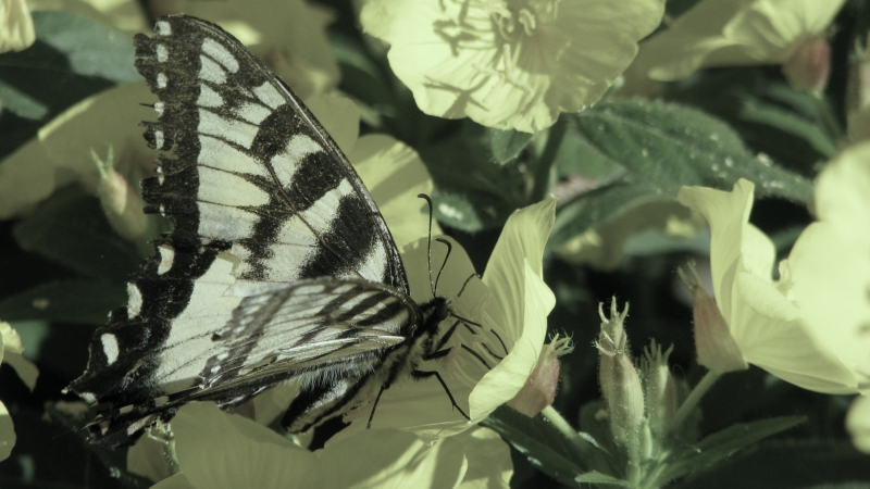 tattered Tiger Swallowtail Butterfly - thetemenosjournal.com