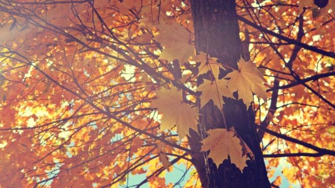 Golden Maple Leaves - thetemenosjournal.com