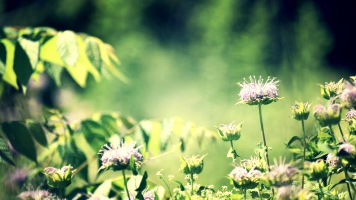 wild bee balm in a meadow - thetemenosjournal.com