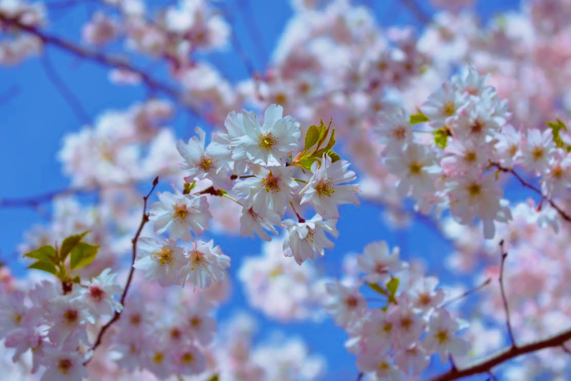 cherry blossoms - may 2017 - thetemenosjournal.com