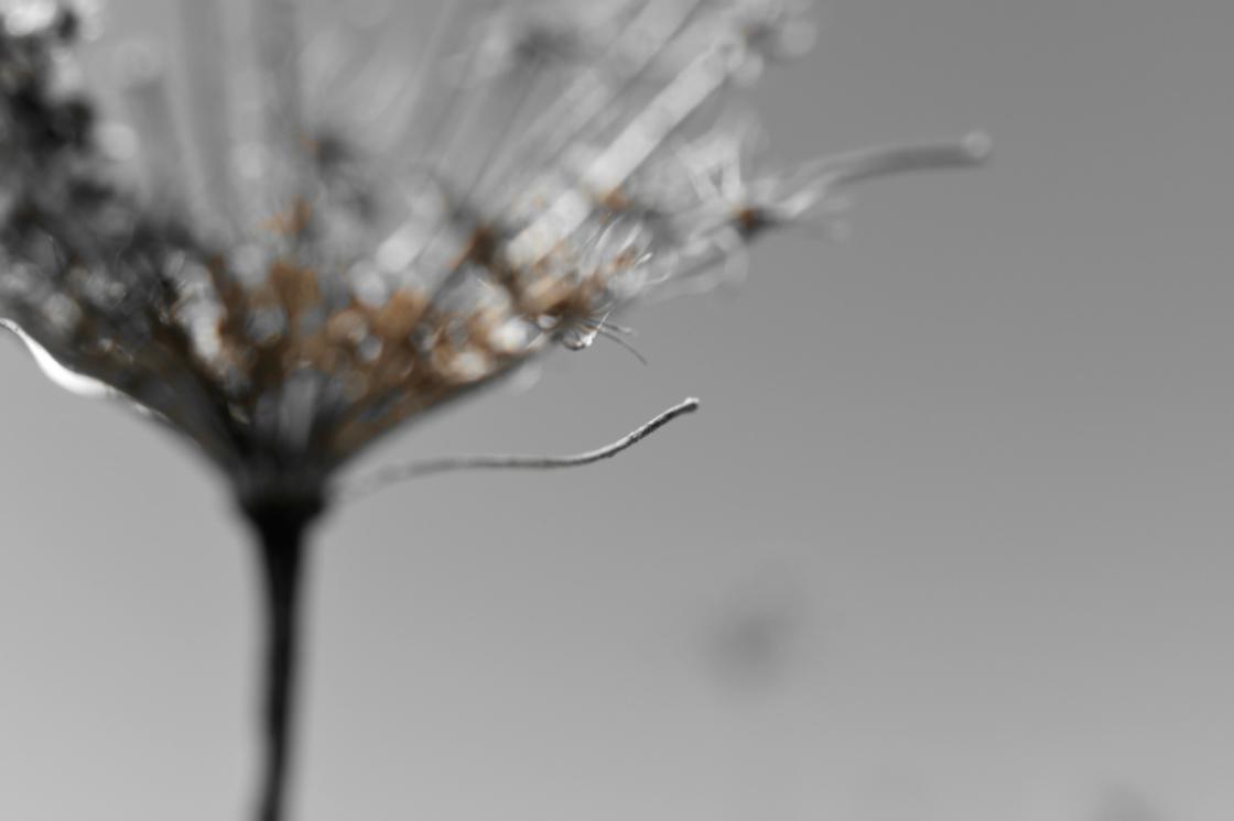 Queen Anne's Lace Seedhead - thetemenosjournal.com