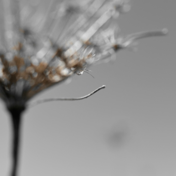 Queen Anne's Lace Seedhead - thetemenosjournal.com