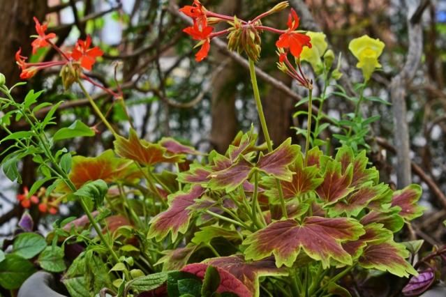 Brocade-leaf Geranium - thetemenosjournal.com
