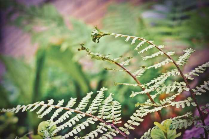 hyrbid lady crested fern