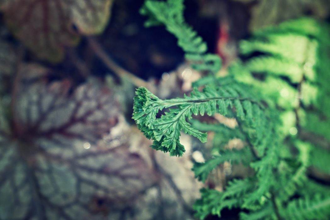 crested lady fern - thetemenosjournal.com