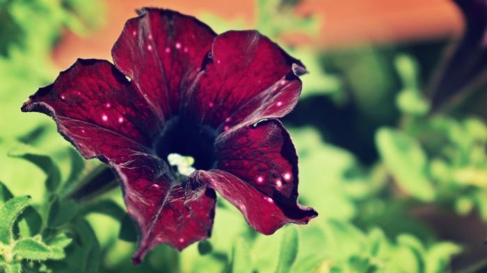 burgundy petunia - thetemenosjournal.com