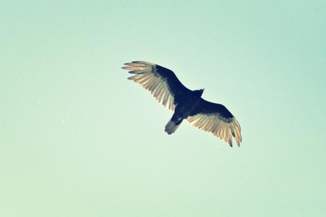 turkey vulture at the coves - thetemenosjournal.com