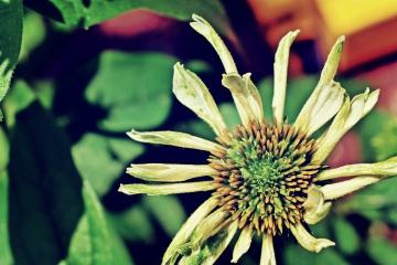 white coneflower - thetemenosjournal.com