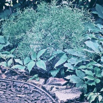 asparagus-fern-1-more1
