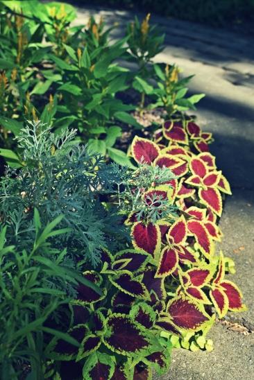 French Tarragon, Coleus, Artemisia 'powis castle ', Celosia - thetemenosjournal.com