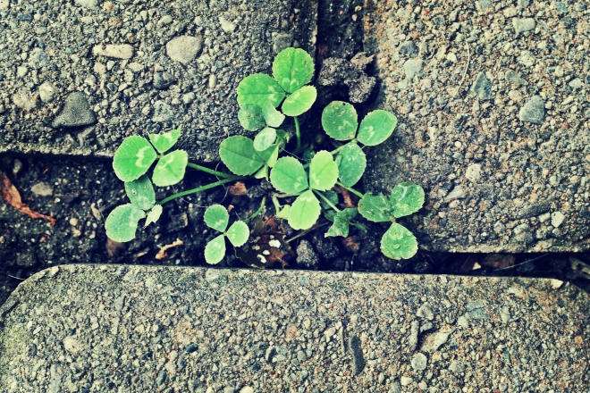 clover in the cracks - thetemensojournal.com