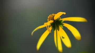 a woodland sunflower - thetemenosjournal.com