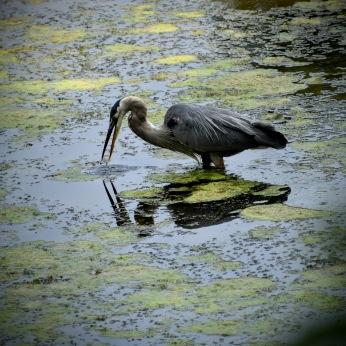 great blue heron - thetemenosjournal.com