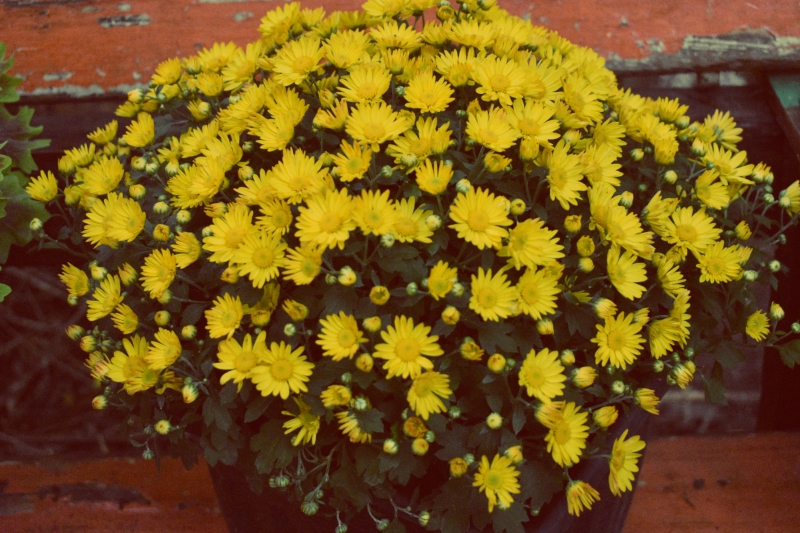 golden mums on a bench - thetemenosjournal.com