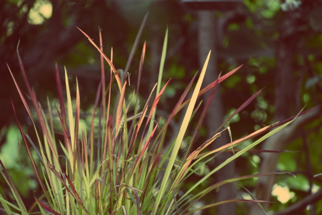 japanese blood grass in afternoon sun - thetemenosjournal.com