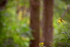 woodland-sunflower-11