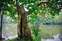sycamore-at-the-coves