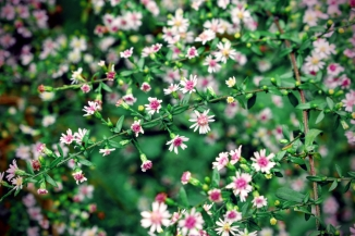 wild-asters-on-the-coves-trail