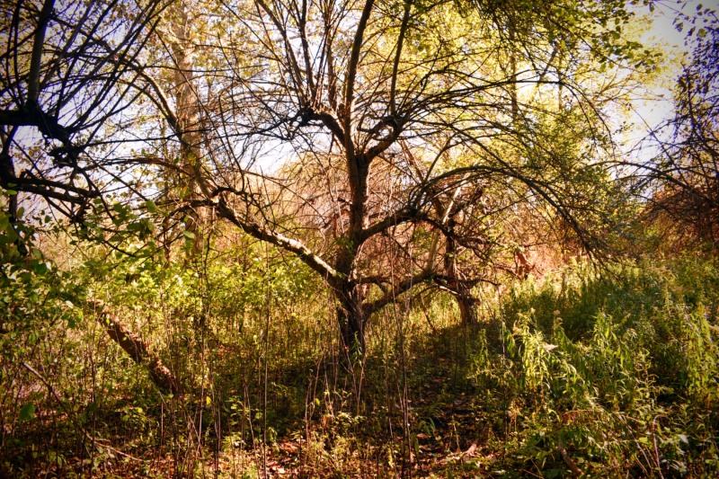 Old Apple Tree - thetemenosjournal.com