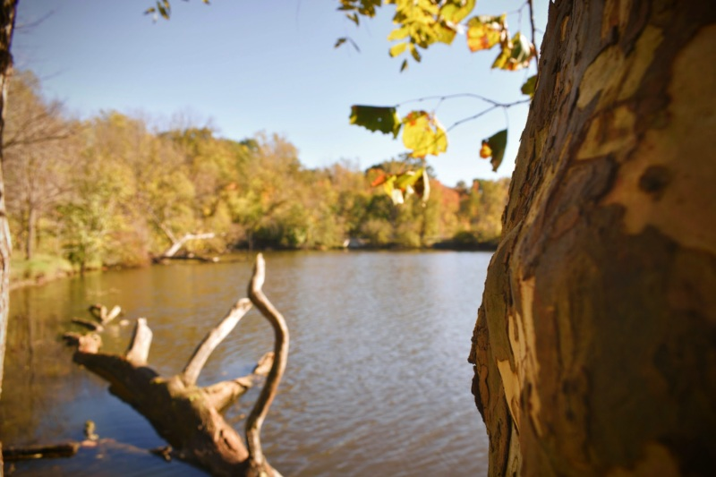 Sycamore At The East Coves Pond - thetemenosjournal.com