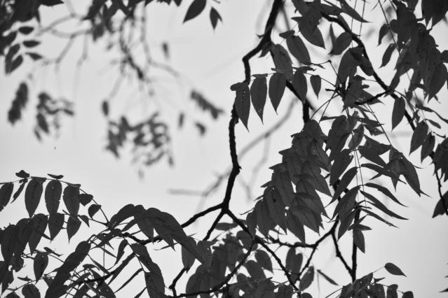black walnut leaves in fall - thetemenosjournal.com