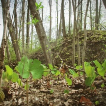 bloodroot and faery mound