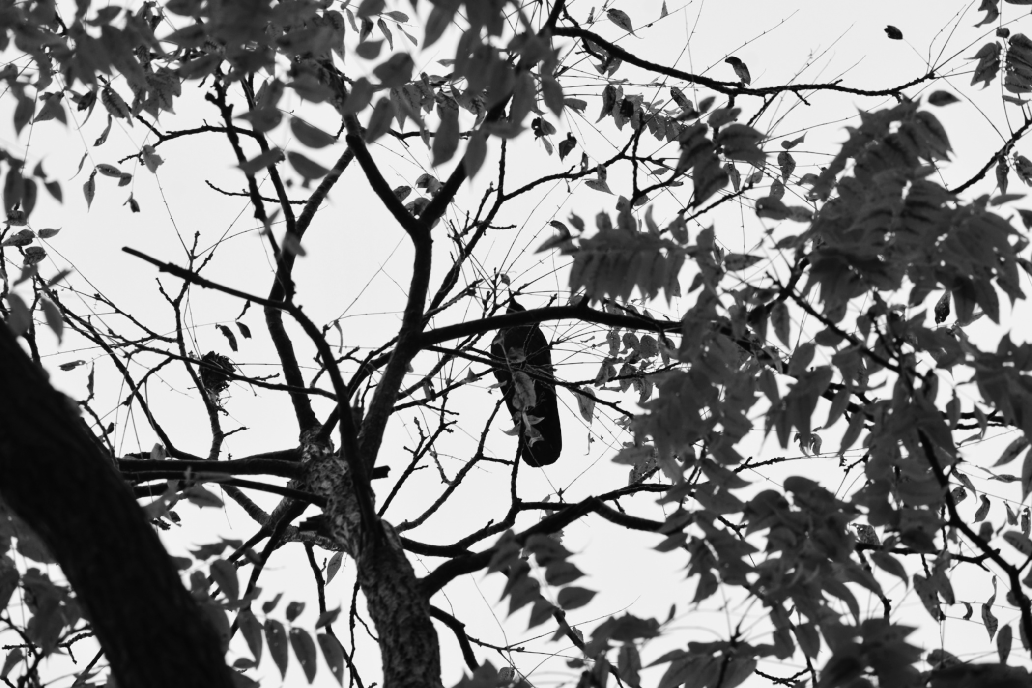 crow in the black walnut tree - thetemenosjournal.com