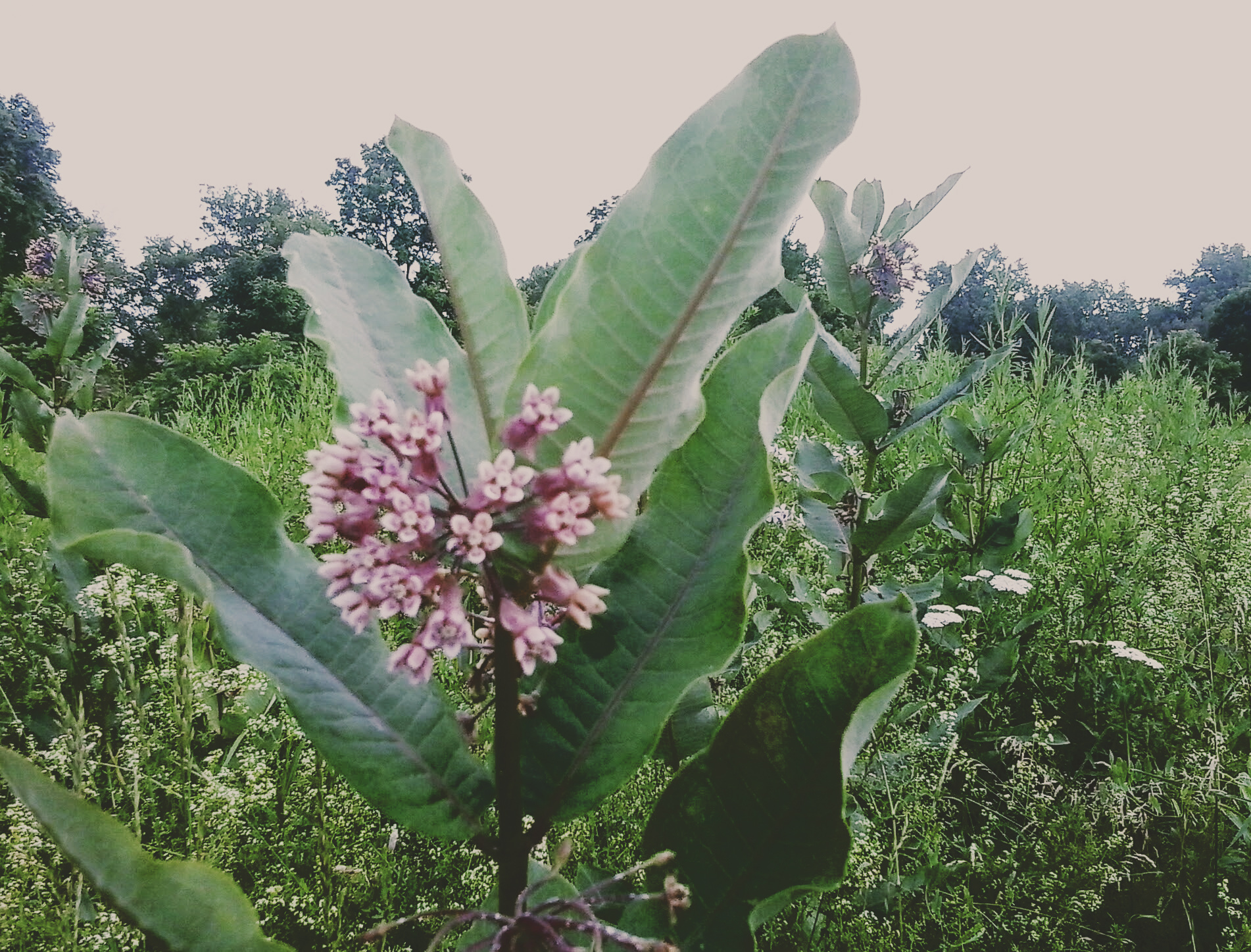 milkweed at euston meadow - thetemenosjournal.com