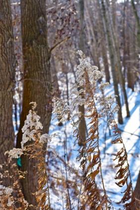 goldenrod in the snow at euston meadow - thetemenosjournal.com