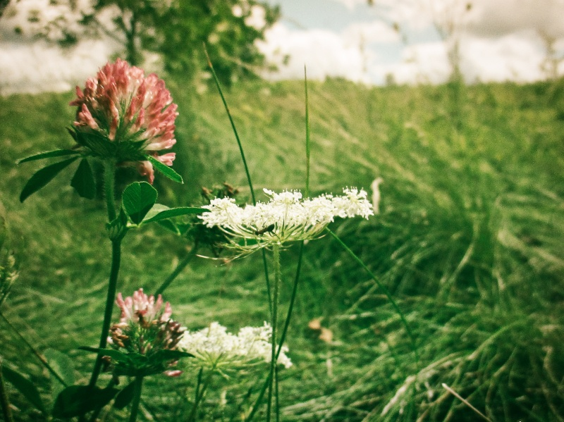 clover and queen anne's lace - Euston Meadow - london, ontario, canada - thetemenosjournal.com