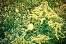 golden meadows of summer