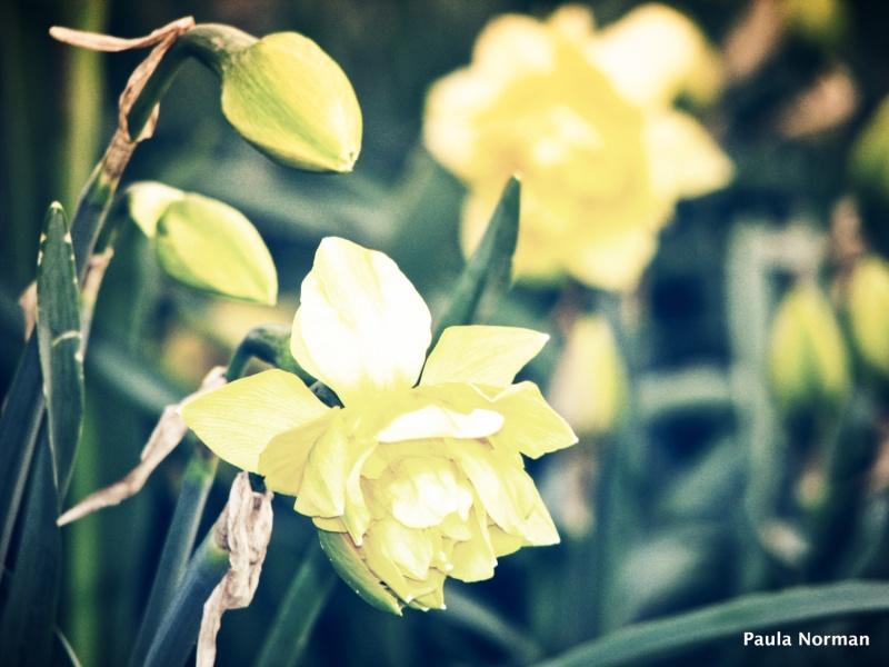 daffodils at the lake - grey county, ontario, canada - thetemenosjournal.com
