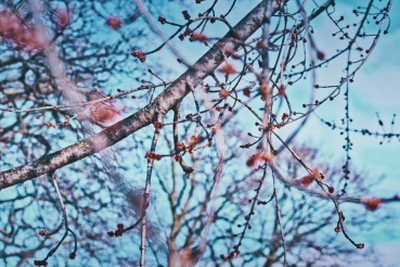 maple tree buds - End of February - London Ontario Canada - thetemenosjournal.com