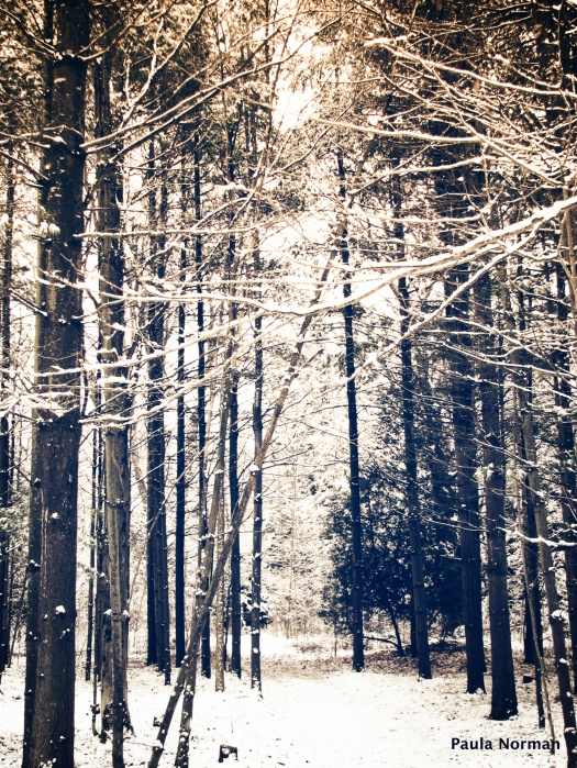 snow on Pinetrees - Irish Lake, Grey County, Ontario, Canada - thetemenosjournal.com