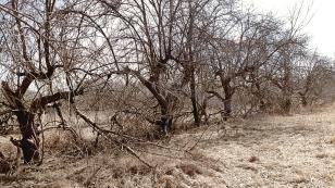 abandoned-apple-orchard-1