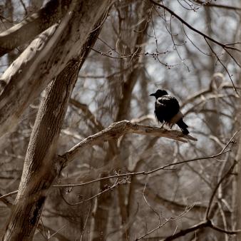 blackbird-on-a-branch