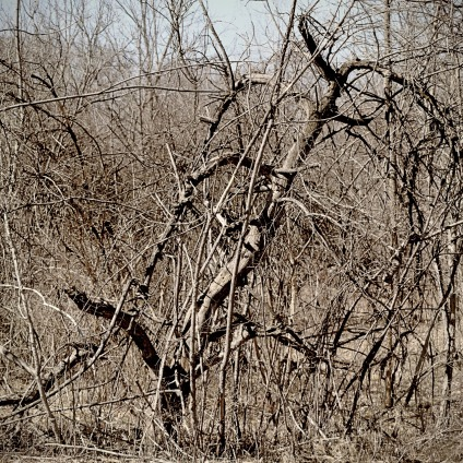 lines of dead apple trees