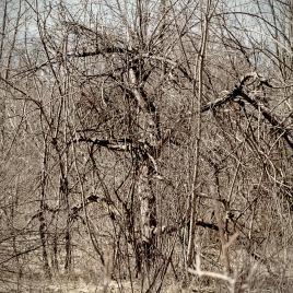 old-apple-trees-1