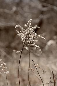 seedhead-in-spring-1