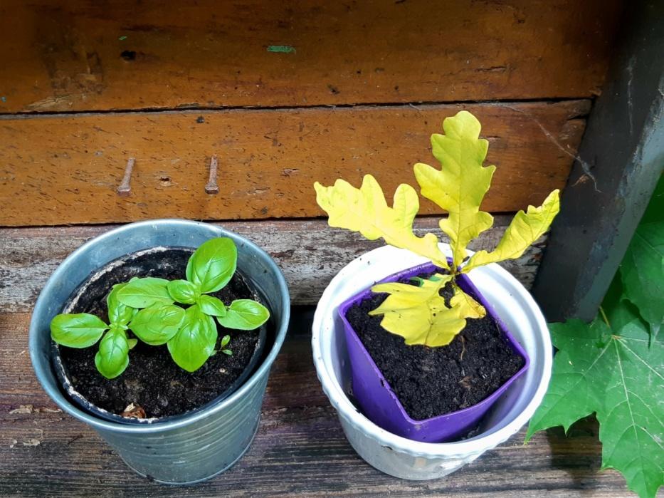 Oak Tree seedling on right, Basil on the left