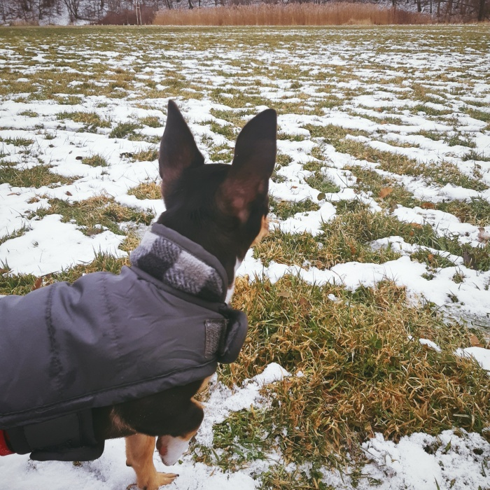 Chihuahua puppy on a snowy field