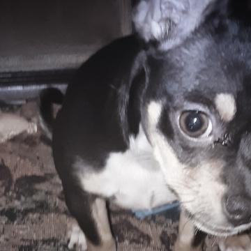 Chihuahua Puppy looking at the camera