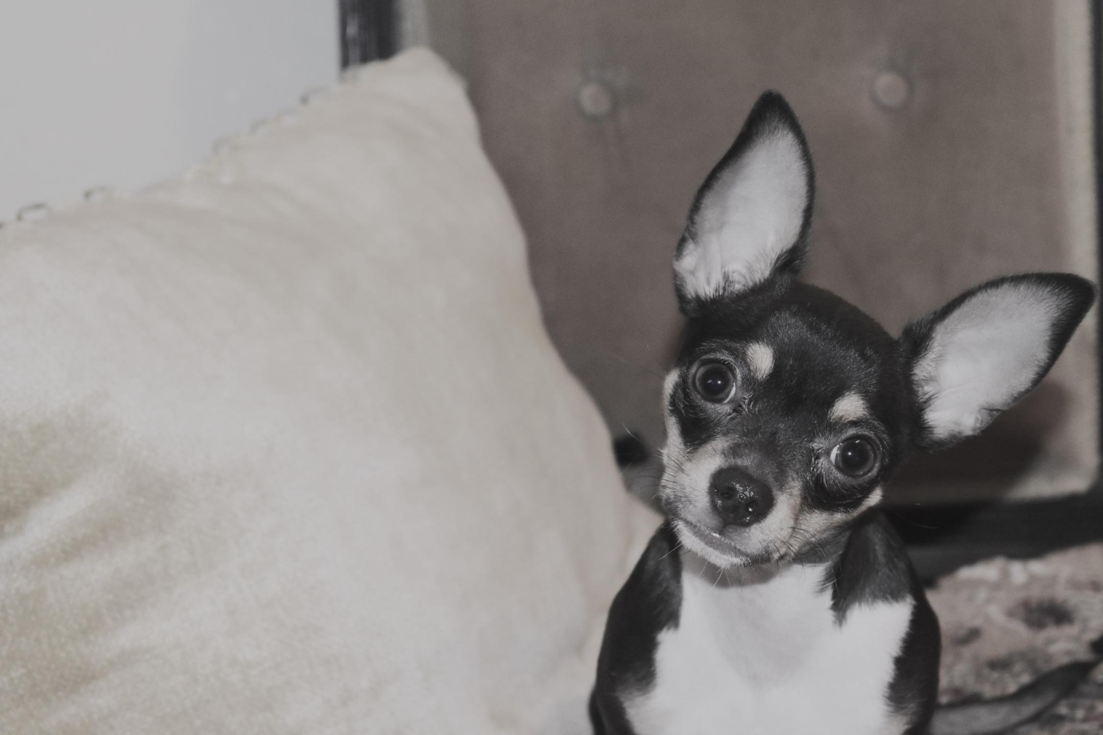 Cutey pie Chihuahua