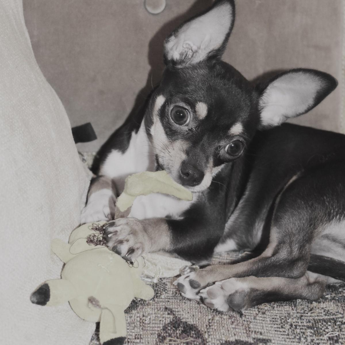 Chihuahua head tilt