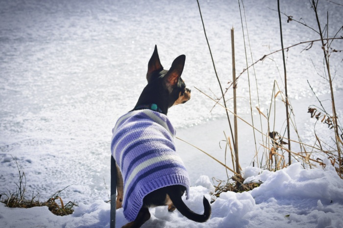 Chihuahua in the snow
