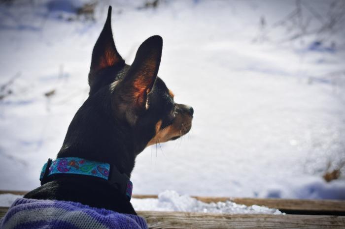 Headshot of Chihuahua
