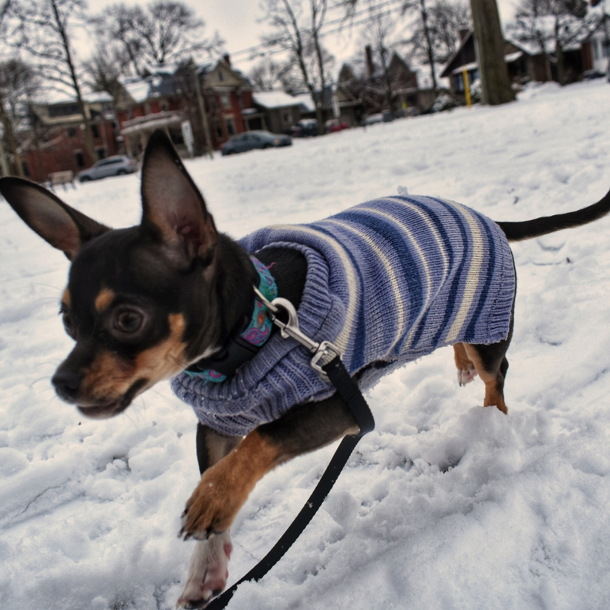 Chihuahua running in the snow wearing a sweater