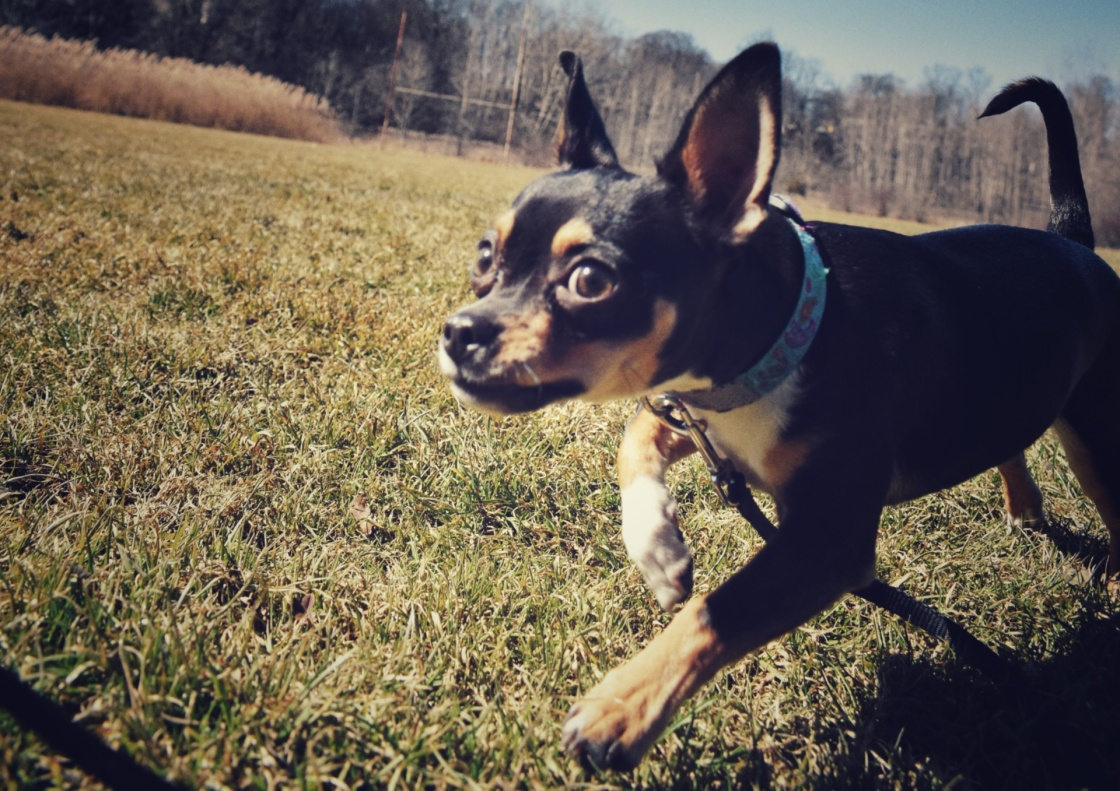 Chihuahua puppy running with crazy look in her eye