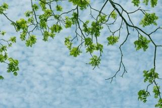 black walnut leaves in early spring